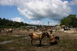 haiti_hest